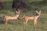 Kenya, Olare Motorogi Conservancy,  black-backed jackals (Canis mesomelas)