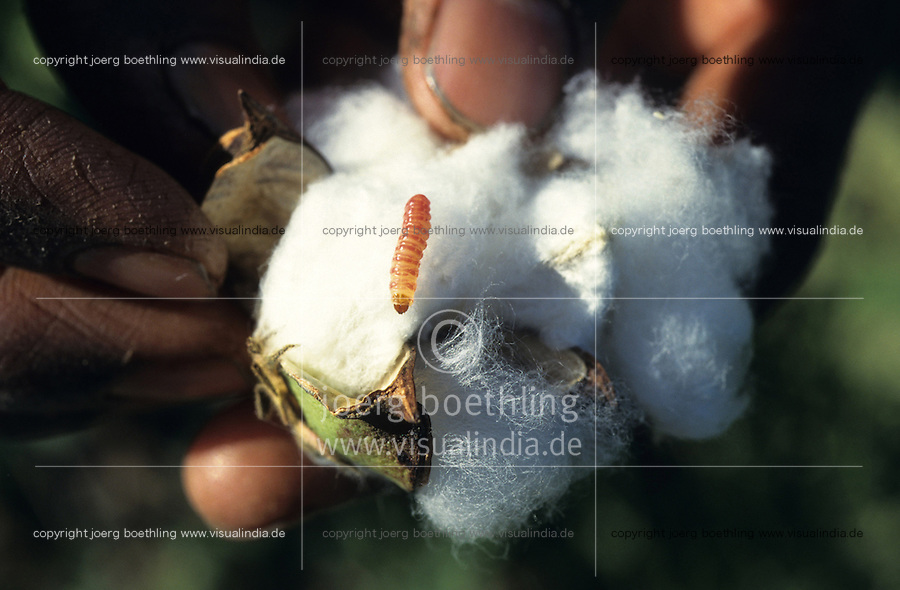 INDIA, organic cotton, Maikaal Project of Maikaal Fibres Ltd. and Remei AG, cotton plant at organic cotton farm, ripe boll formation with bollworm (Helicoverpa armigera) a major pest in cotton farming / INDIEN, Biobaumwolle Maikaal Projekt von Maikaal Fibres Ltd. und Remei AG, Baumwollpflanze mit reifer Baumwollkapsel und Schaedling Raupe, Kapselbohrwurm