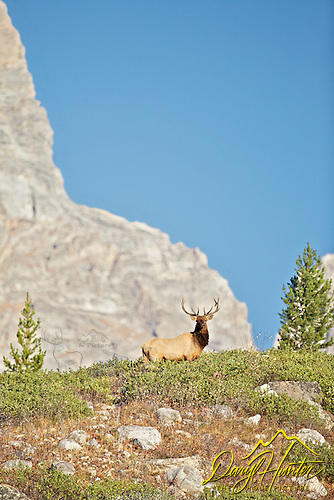 Bull elk, bugling, buffalo, Yellowstone National Park