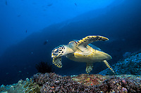 Hawksbill Turtle, Eretmochelys imbricata, Similan Islands Marine National Park, Thailand, Andaman Sea