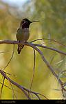 Anna's Hummingbird Male, Temescal Canyon, Southern California
