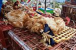 Chickens, Otovalo Market