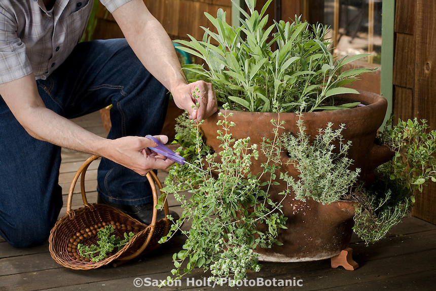 gardener cutting oregano from strawberry pot container of herbs on deck by kitchen door in backyard garden; also sage, rosemary, thyme