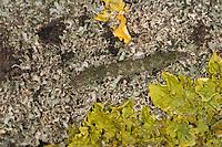 Sicheleule, Nadelwald-Flechteneule, Graue Flechten-Spannereule, Raupe frisst an Flechten, Laspeyria flexula, Beautiful Hook-tip, caterpillar, le Crochet, Chenille, Eulenfalter, Noctuidae, noctuid moths, noctuid moth