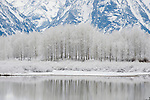 Frost covers a grove of aspens in Grand Teton National Park, Wyoming.