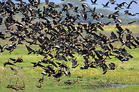 flock of white-faced whistling ducks, Dendrocygna viduata, and black-bellied whistling ducks, Dendrocygna autumnalis, flying, Los Lianos, Venezuela, South America
