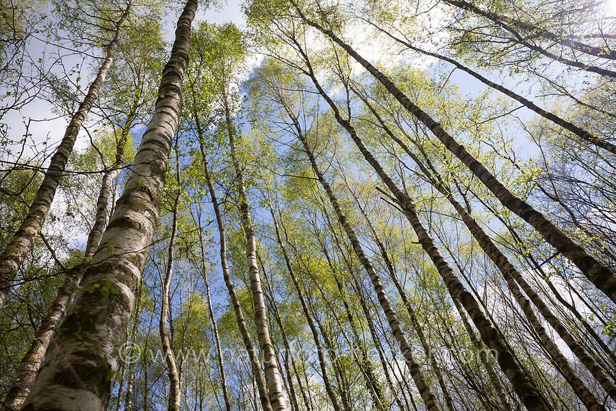 Birkenwald, Birken-Wald, Hänge-Birke, Birke, Sand-Birke, Hängebirke, Sandbirke, Weißbirke, Birkenstamm, Birkenstämme, Stamm, Stämme, Rinde, Borke, Betula pendula, European White Birch, Silver Birch, warty birch, birch, birch forest, birch grove, stem, bark, rind, Le bouleau verruqueux, bouleau blanc