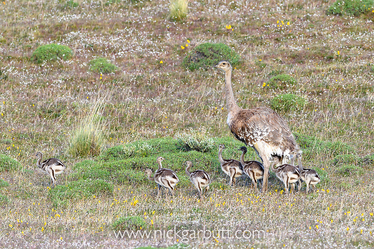 Male Darwin's rhea (Pterocnemia pennata) with brood of young chicks. Torres del Paine National Park, Patagonia, Chile.