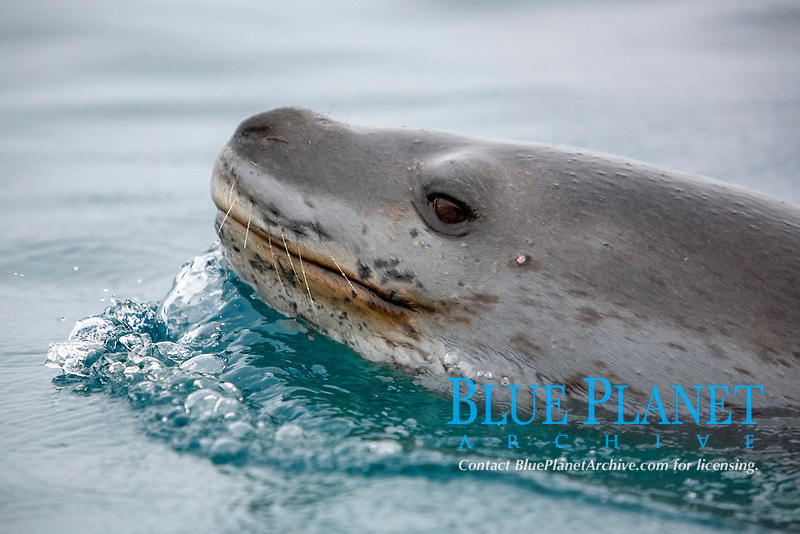 An adult Leopard Seal (Hydrurga leptonyx) surfacing in clear water near Petermann Island on the Southwest Antarctic Peninsula.