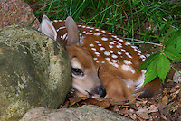 White-Tailed deer (Odocoileus virginianus) fawn, just a few weeks old. The doe will leave for up to four hours at a time to forage. Before returning to nurse, she carefully selects a hiding place. New fawns have no odor of their own, and will remain motionless, blending into their environment, all of which helps deter detection of predators.