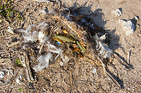 dead Laysan albatross, Phoebastria immutabilis, with gut full of man-made plastic and foam items, is probably a chick that starved after eating regurgitated plastic from its parents, blocking the digestive passage, Tern Island, French Frigate Shoals, Papahanaumokuakea Marine National Monument, Northwest Hawaiian Islands (Central Pacific Ocean)
