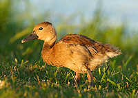 Black-bellied whistling duck duckling.