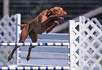 Vizla (NR) jumping a bar jump in an agility competition in Gloucester, Virginia.