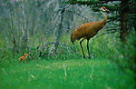 Sandhill crane leads its chick toward grass to find insects to eat.