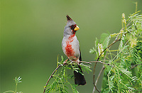 Pyrrhuloxia, Cardinalis sinuatus, male, Starr County, Rio Grande Valley, Texas, USA, May 2002