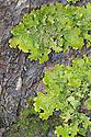 Tree Lungwort {Lobaria pulmonaria} lichen. Kyle of Lochalsh, Scotland. March.