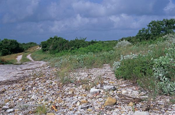 Lesser Nighthawk, Chordeiles acutipennis, female on nest camouflaged, Lake Corpus Christi, Texas, USA