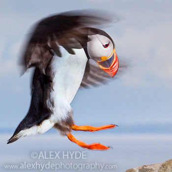 Atlantic puffin (Fratercula arctica) about to land on rock, Isle of Lunga, Treshnish Isles, Scotland, June.