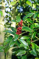Ilex x koehneana 'Chestnut Leaf'