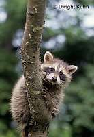 MA25-142z  Raccoon - young raccoon climbing tree - Procyon lotor