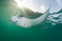 reef manta ray, Mobula alfredi, feeding on plankton just under water's surface at sunset, with tip of pectoral fin lifted out of the water, Hanifaru Bay, Baa Atoll, Maldives, Indian Ocean