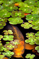 Koi in pond surrounded by Water Clover (Marsilea quadrifolia). Oregon Gardens. Oregon