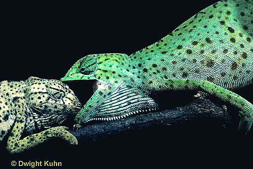 CH21-029z  African Chameleon - dominant green biting at recessive pale, territorial confrontation  - Chameleo senegalensis