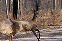 00275-197.17 White-tailed Deer (DIGITAL) doe is running with tail raised across road during fall.  Auto, collision, roadkill.  H6R1