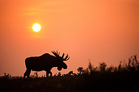 moose, Alces alces, bull with large antlers, silhouetted from sunset and forest fire smoke, Denali National Park,, Alaska, USA