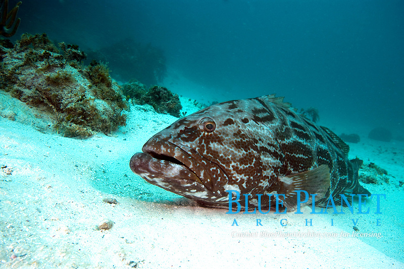 Black grouper, mycteroperca bonaci, grows to 4 ft