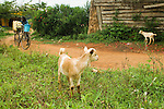 Domestic Goat (Capra hircus) juveniles in village, Bigodi, western Uganda