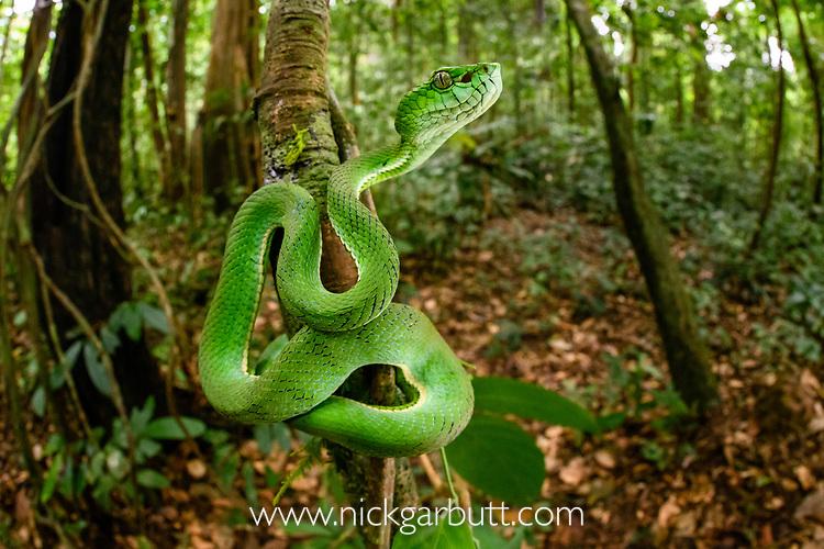 Juvenile Sumatran pit viper (Trimeresurus sumatranus)(sometimes Parias sumatranus) in rain forest understorey. Danum Valley, Sabah, Borneo.