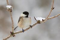 Weidenmeise, Winter, Schnee, Weiden-Meise, Mönchsmeise, Mönchs-Meise, Meise, Parus montanus, Poecile montanus, willow tit, snow, La Mésange boréale