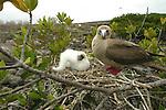 Fous a pattes rouges au nid avec son petit ( Sula sula websteri)