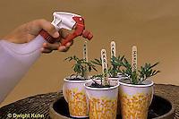 HS18-148z  Starting seeds indoors - marigold seedlings - Tagetes spp