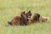 Coastal Grizzly Bear sow (ursus arctos horribilis) nursing cubs in meadow, Lake Clark National Park, Alaska.