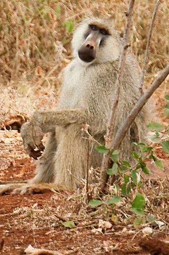 The Yellow Baboon inhabits savannas and light forests in eastern Africa, from Kenya and Tanzania to Zimbabwe and Botswana. It is diurnal, terrestrial, and lives in complex mixed gender social groups, with anywhere from 8 to 200 individuals per troop. It is omnivorous with a preference for fruits, but it also eats other plant parts as well as insects. Baboons are highly opportunistic eaters and will eat almost any food they come across.