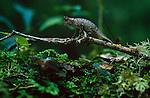 Forest-floor Stump-tailed or Leaf Chameleon (Brookesia superciliaris) amongst leaf litter. Andasibe-Mantadia National Park, Eastern Madagascar.