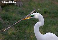 0312-0874  Great Egret Collecting Sticks for Nest, Displaying Breeding Plumage, Ardea alba © David Kuhn/Dwight Kuhn Photography