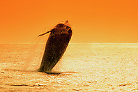 humpback whale, breaching at sunset, .Megaptera novaeangliae, .Hawaii (Pacific).