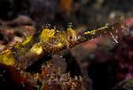 Winged Pipefish , Halicampus macrorhynchus, Lembeh Straits, Sulawesi Sea, Indonesia, Amazing Underwater Photography