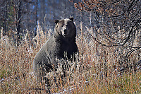 Grizzly Bear, Just north of Grand Tetons National Park