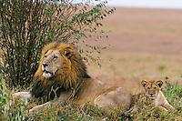 Male african lion (Panthera leo) resting with cub, Masai Mara National Reserve, Kenya.