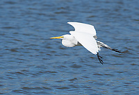 Great Egret, Ardea alba, at Lake Ewauna, Klamath Falls, Oregon