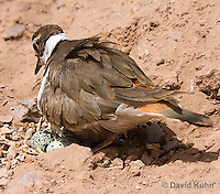 0510-1122  Killdeer, Adult Sitting on Eggs, Charadrius vociferus  © David Kuhn/Dwight Kuhn Photography