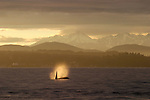 Orca whale breathing off Seattle, Puget Sound, Bainbridge Island, Olympic Mountains in the distance, winter, Washington State, Pacific Northwest, USA,