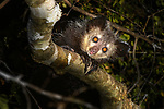 Adult aye-aye (Daubentonia madagascariensis) in forest canopy after emerging from its nest at dusk. Near Daraina, northern Madagascar.