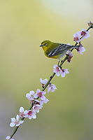 Pine Warbler (Dendroica pinus), adult male perched on blooming Peach tree (Prunus persica), Hill Country, Central Texas, USA