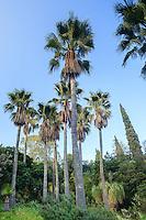 Le Domaine du Rayol:<br /> dans le jardin d'Amérique subtropicale, bosquet de palmiers washingtonia (Washingtonia robusta).