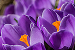 Crocus in Paul Revere Park, Boston, Massachusetts, USA